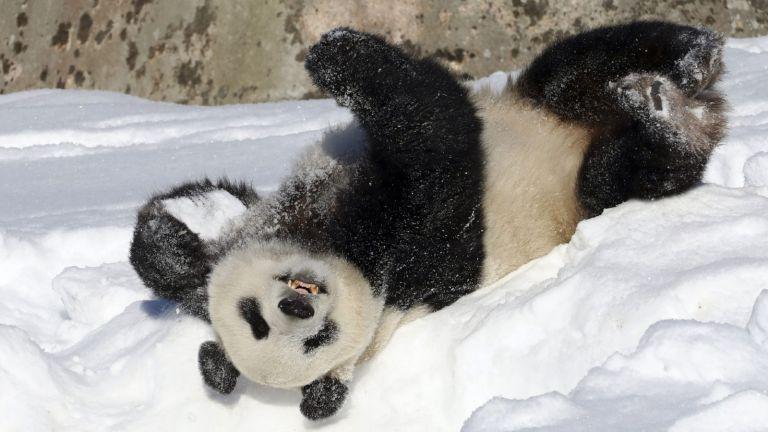 Adorables pandas atrapados jugando en la nieve en el Zoológico Nacional